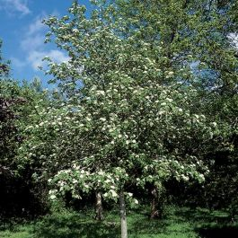 5ft Double White Hawthorn Tree | 12L Pot| Crataegus laevigata 'Plena' |By Frank P Matthews™ a'
