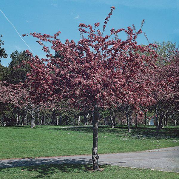 Profusion Crabapple Tree | Bare Root | Malus x moerlandsii 'Profusion'