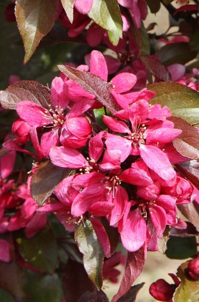 Profusion Improved Crabapple Tree | 12L Pot | By Frank P Matthews™