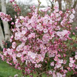7ft Prunus 'Accolade' Cherry Blossom Tree | Half Standard | 18L Pot