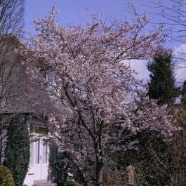 7ft Pink Winter Cherry Blossom Tree | 4 Years Old | 18L Pot | Half Standard | Prunus subhirtella 'Autumnalis Rosea'