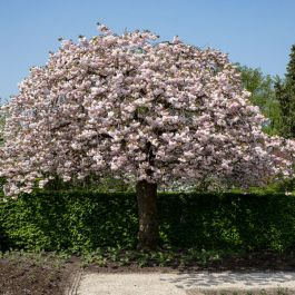 7ft Prunus 'Shirofugen' Cherry Blossom Tree | Half Standard | 18L Pot