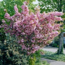 5ft Kanzan Cherry Blossom Tree | 9L Pot | 2 Years Old
