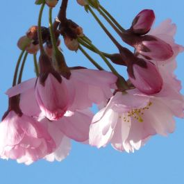 5ft 'Pink Shell' Cherry Blossom Tree | Bare Root | Prunus 'Pink Shell'
