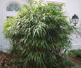 3ft Arrow Bamboo | 5L Pot | Pseudosasa japonica