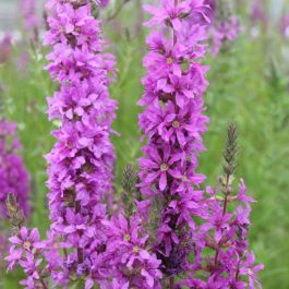 1L Purple Loosestrife Lythrum Salicaria - Cut Back