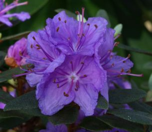 1ft Dwarf Rhododendron 'Purple Gem' | 3L Pot