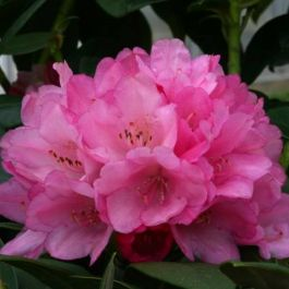 1ft Rhododendron 'Queen Alice' | 3L Pot | Rhododendron Yakushimanum