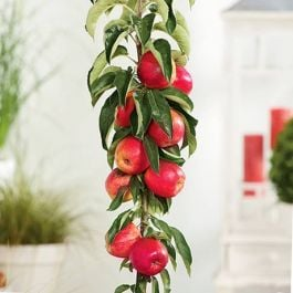 5ft 'Red Falstaff' Cordon Dessert Apple Tree | M26 Semi Dwarfing Rootstock | 8L Pot