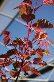 5ft 'Red Flamingo' Maple Tree | 12L Pot | Acer x con 'Red Flamingo' | By Frank P Matthews™