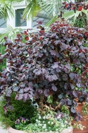 5ft Purple Corkscrew Hazel Tree | 9L Pot | Corylus avellana 'Red Majestic'