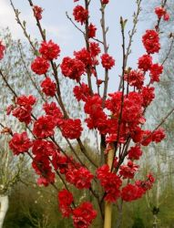 Red Ornamental Peach Tree - 10L Pot 'Prunus taoflora Red'