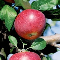 5ft 'Red Devil' Dessert Apple Tree | M26 Semi Dwarfing Rootstock | 9L Pot