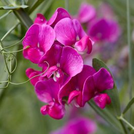 Lathyrus latifolius 'Red' | Everlasting Sweet Pea | 3L Pot