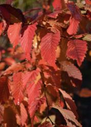 5ft 'Rockhampton Red' Common Hornbeam Tree | 12L Pot | Carpinus betulus 'Rockhampton Red'  | By Frank P Matthews™
