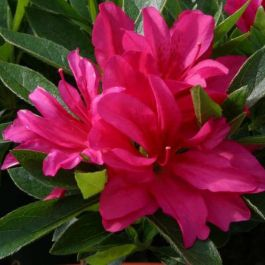 1ft Evergreen Azalea 'Rosa' |3L Pot | Azelea japonica