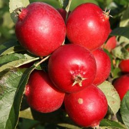 5ft 'Rosehip' Crabapple Tree | Malus 'Rosehip' | 12L Pot | By Frank P Matthews