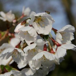 5ft 'Royal Flame' Cherry Blossom Tree | Prunus 'Royal Flame'| 12L Pot | By Frank P Matthews