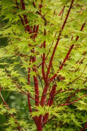 2ft Sango-kaku Acer Tree | 7.5L Pot | Acer Palmatum