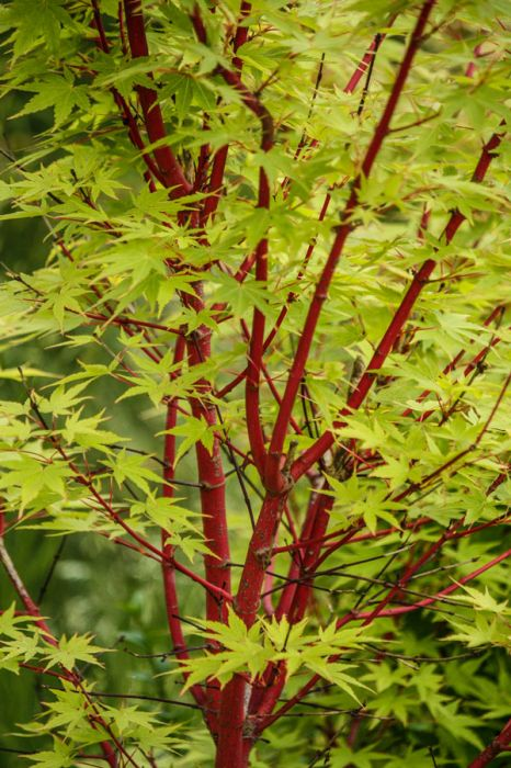 4ft Sango-kaku Acer Tree | 18L Pot | 5 Years Old | Acer Palmatum
