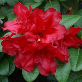 1ft Dwarf Rhododendron 'Scarlet Wonder' | 3L Pot