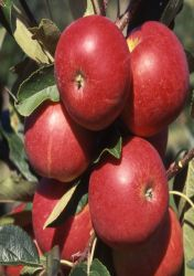 Scrumptious™ Patio Apple Tree - 11.5L Pot By Frank P Matthews™