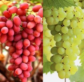 3ft 'Seedless Grape Vine Collection' | 2L Pots | 'Crimson Seedless' (Red) & 'Superior Seedless' (White)