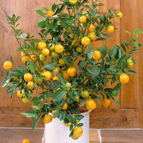 2ft Seville Orange Tree | Citrus × Aurantium 'Bigaradier' | Grafted Mini-Stem | 5L Pot