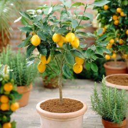 3ft 4 Seasons Lemon Tree | Grafted Mini-Stem | 5L Pot