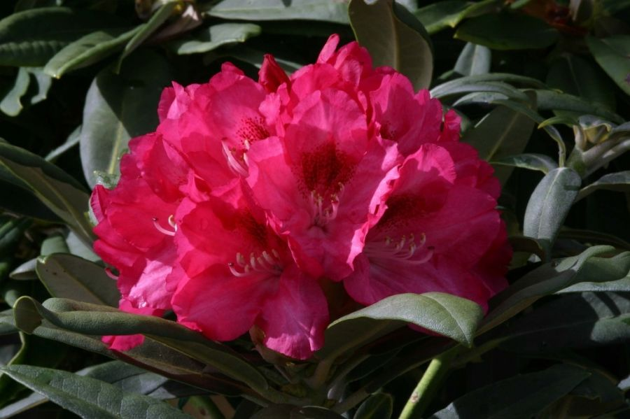 1ft Rhododendron 'Sneezey' | 3L Pot | Rhododendron Yakushimanum