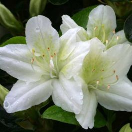 1ft Evergreen Azalea 'Snow White' |3L Pot | Azelea japonica