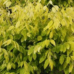 5ft 'Gold Standard' Japanese Pagoda Tree | Sophora jap 'Gold Standard' | 12L Pot | Top Worked at 100cm | By Frank P Matthews