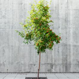 6ft Rowan Tree | 9L Pot | Sorbus aucuparia / Mountain Ash