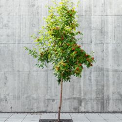 4ft Rowan Tree | Bare Root | Sorbus aucuparia / Mountain Ash