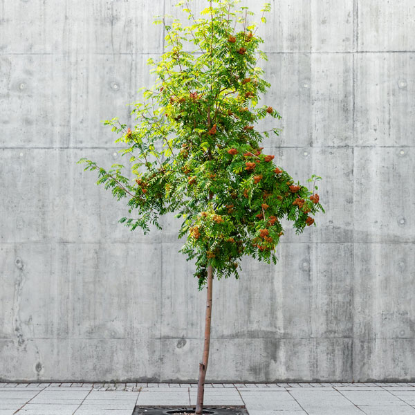 5ft Rowan Tree | 9L Pot | Sorbus aucuparia / Mountain Ash