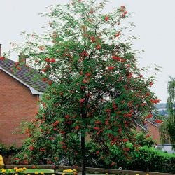9ft Rowan Tree  | Full Standard | 36L Pot | Sorbus aucuparia / Mountain Ash