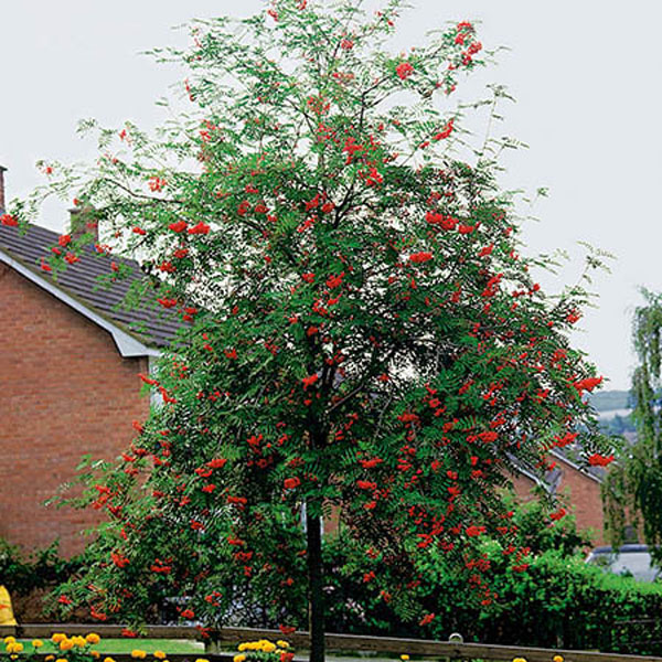 6ft Rowan Tree |12L Pot | Sorbus aucuparia / Mountain Ash | By Frank P Matthews™
