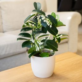 40cm Stephanotis Floribunda | Bow Plant | 12cm Pot | By Plant Theory