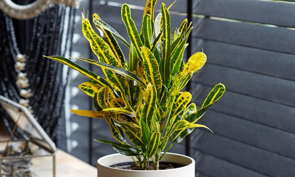 croton yellow banana