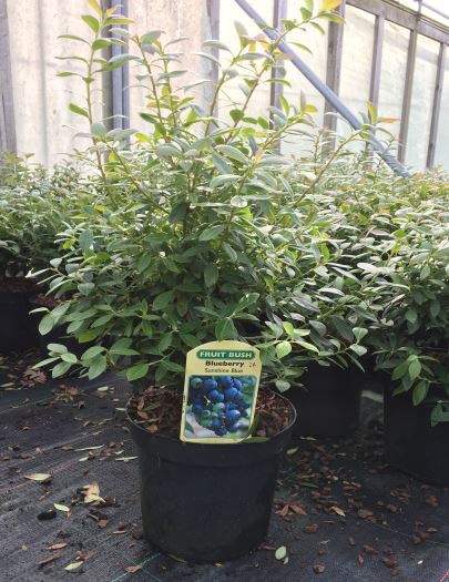 Blueberry 'Sunshine Blue' Bush - Vaccinium 'Sunshine Blue' - 2L Pot