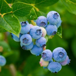 1ft 'Sunshine Blue' Evergreen Blueberry Bush | 12cm Pot