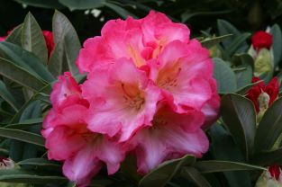 1ft Rhododendron 'Surrey Heath' | 3L Pot | Rhododendron Yakushimanum