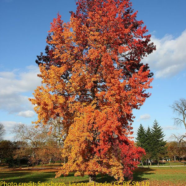 5ft Sweet Gum Tree | 9L Pot | Liquidambar styraciflua