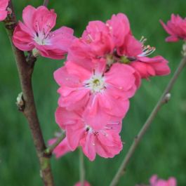 5ft 'Terute Red' Flowering Peach Tree | Prunus per 'Terute Red' | 12L Pot | By Frank P Matthews