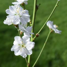 5ft 'Terute White' Flowering Peach Tree | Prunus per 'Terute White' | 12L Pot | By Frank P Matthews