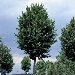 5ft Large Leaved Lime Tree | 9L Pot | Tilia platyphyllos