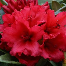 1ft Rhododendron 'Titian Beauty' | 3L Pot | Rhododendron Yakushimanum