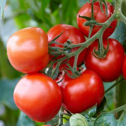 Tomato 'Totem' | 8.5cm Pot | By Gourmet Vegetables