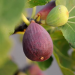 Fig Tree 'Brown Turkey' 10L Pot Multi Stem Shrub