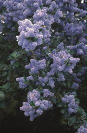 5ft 'Trewithen Blue' Californian Lilac Tree | 12L Pot | Ceanothus arb 'Trewithen Blue' | By Frank P Matthews™
